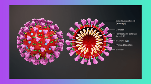 3D medical animation of the SARS-CoV-2 new coronavirus structure. On the left is an illustration of the outside of the virion. On the right is a cross-section of the virion, a diagram of its protein spikes, protective coating, and the genetic material protected inside